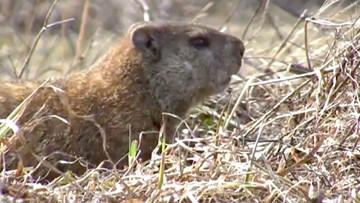 Other weather-predicting groundhogs that aren't Punxsutawney Phil