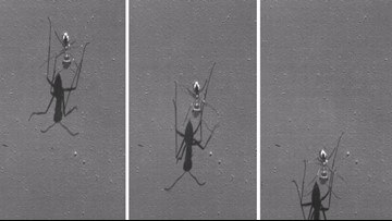 World's Fastest Ant Runs the Equivalent of 400 mph for Humans