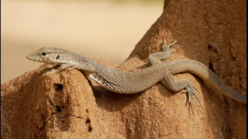 Tiny Godzillas: City Lizards Developed Heat-Resistant Bodies