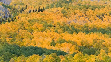 This Massive Forest Grove in Utah is Actually Just One Tree