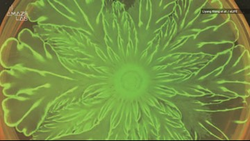 Watch Bacteria Create a Stunning Microscopic Flower Pattern