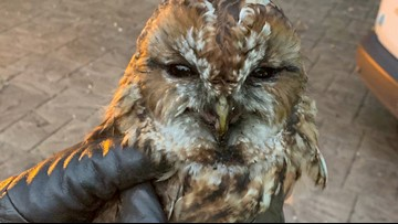 Hoot Soot! Fire Crews Rescue Helpless Owl After It Falls Down Chimney