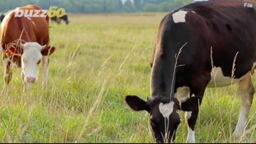 Relieving Stress with Cow Therapy Is Catching On