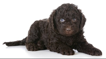 New Dog Breeds to Look Out For Ahead of the Westminster Dog Show