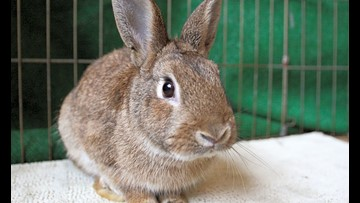 Rabbits in Chula Vista looking for their fur-ever homes