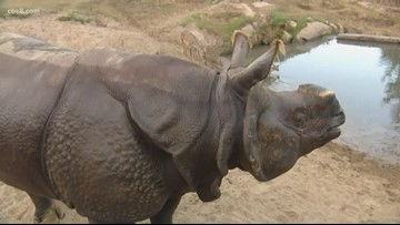 San Diego Zoo holding one-of-a-kind fundraiser to support rhinos