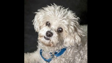 Paz: Sweet and quiet Bichon Frise mix | cbs8 com