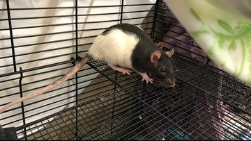 San Diego Humane Society looking for homes for 150+ rats relinquished by owner