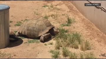 Bubba the tortoise gets lost in Ramona