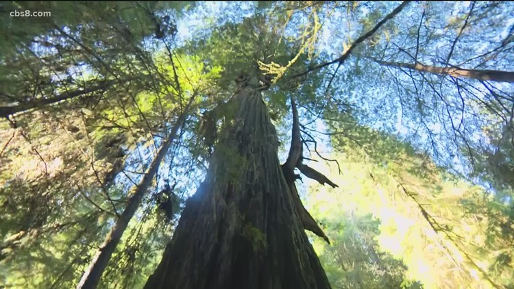 California's mighty Redwood trees in need of help, only 5% of original forest still stands