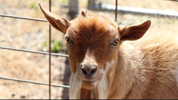 Humane Society investigating abandoned goat in Oceanside