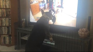 Dog From Hell Growls at Inside Edition Story About Her