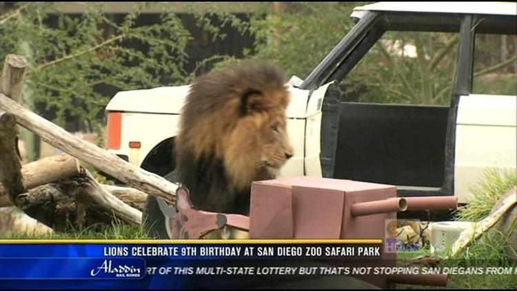 Lions Celebrate 9th Birthday At San Diego Zoo Safari Park Cbs8 Com