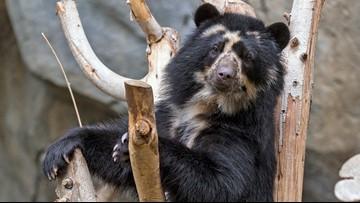 San Diego Zoo announces birth of Andean Bear cub