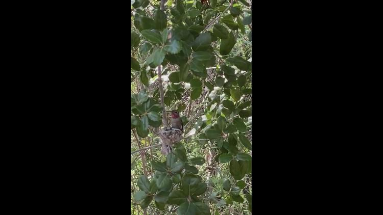 Hummingbird feeding babies