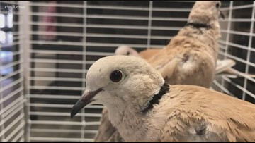 San Diego Humane Society to put more than 100 birds up for adoption