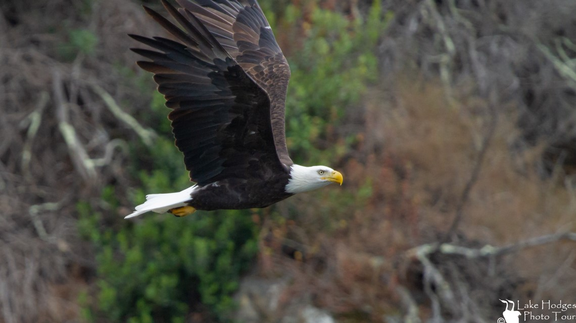 Bald Eagles can be found at Lake Hodges