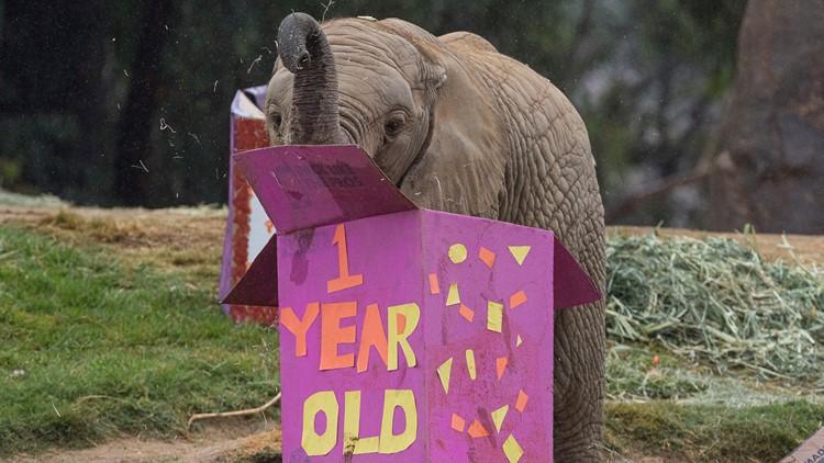Pachyderm Birthday Celebration at San Diego Zoo Safari Park: Elephant Calf Kaia Turns 1 Year Old