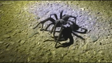 Earth 8: Tarantulas on the move in San Diego County