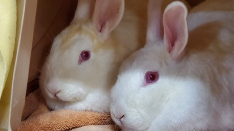 San Diego Humane Society offers 17 rescued rabbits up for adoption