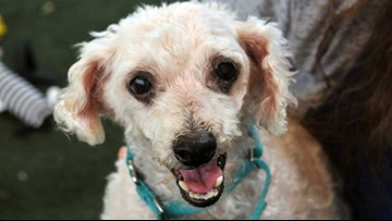 Terry the poodle is ready for a new home!