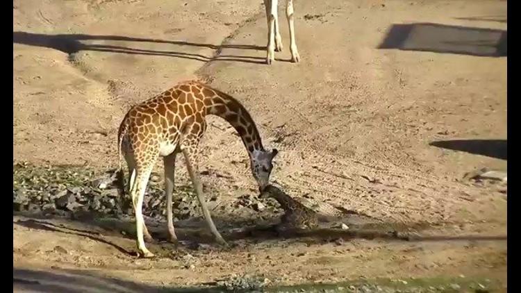 Giraffe Born At San Diego Safari Park After Another S Death Cbs8 Com