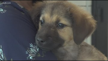 Abandoned puppies at the Helen Woodward Animal Center ready to be adopted
