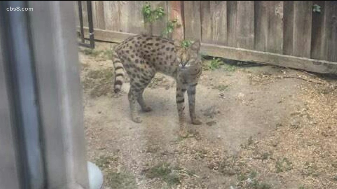 Serval cat spotted roaming in North County neighborhoods