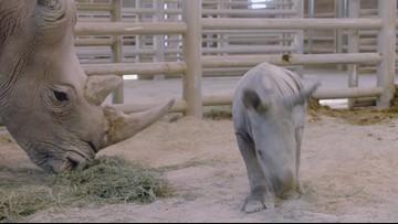 Southern white rhino calf, conceived through artificial insemination, born at San Diego Zoo Safari Park