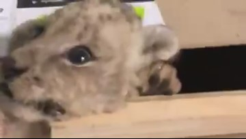 Lion cub found in a box at a mail delivery center in Tijuana