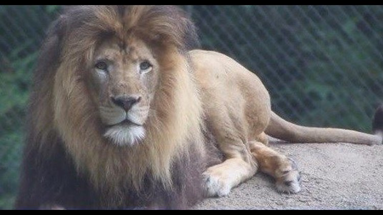 Lion On Loan From San Diego Zoo Killed At Indianapolis Zoo Cbs8 Com