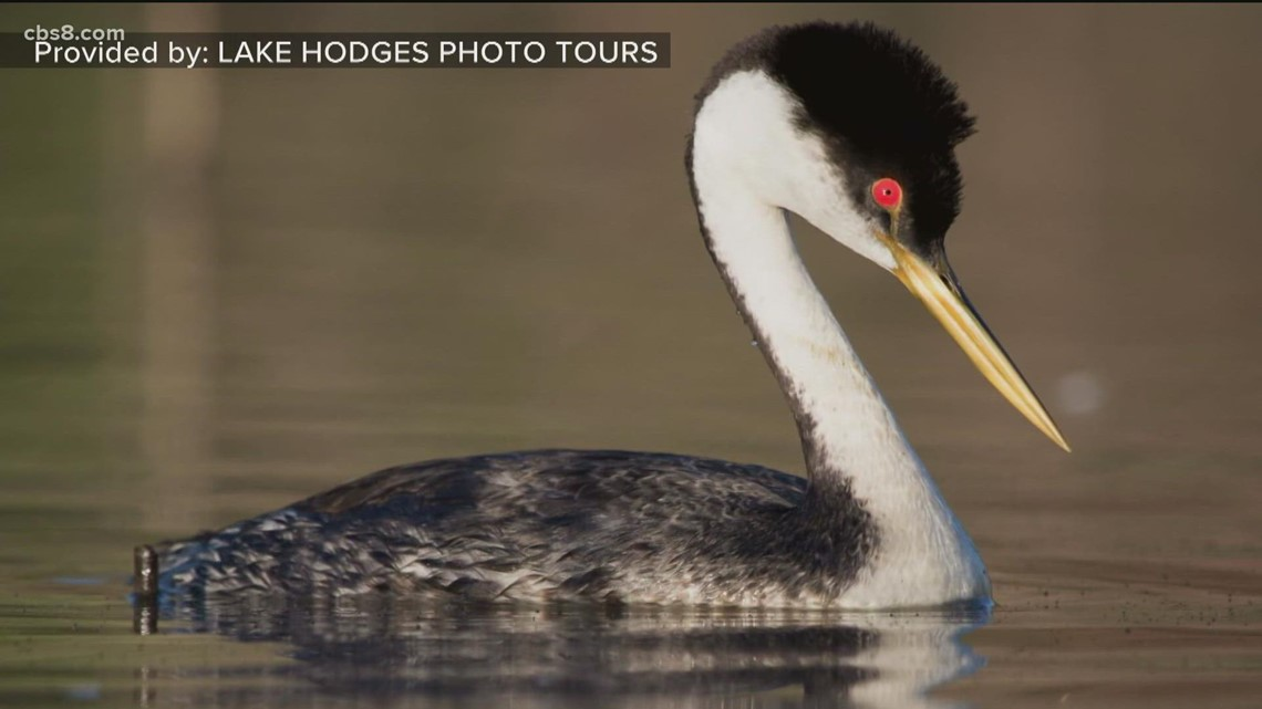Nesting conditions for grebes on Lake Hodges go from near perfect to impossible