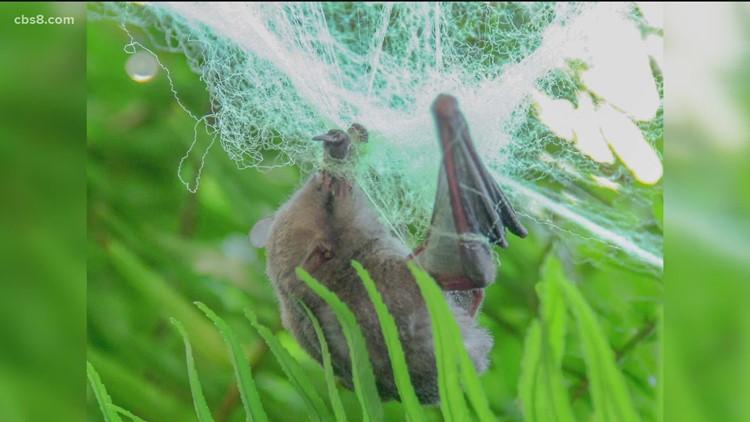 San Diego Humane Society hosting Bat Week