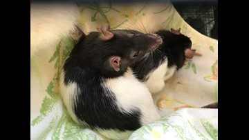 San Diego Humane Society says 140 rats given up by owner now ready for adoption