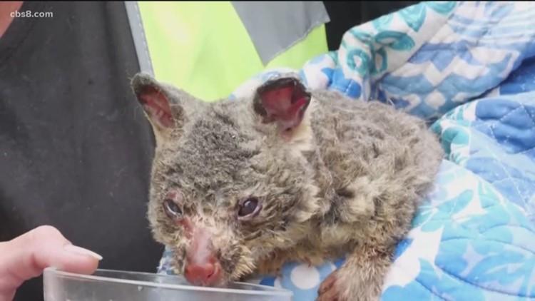 San Diego restaurants to hold fundraiser for Australia wildlife rescue efforts
