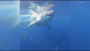San Diego shark tour has close encounter with 17-foot-long great white