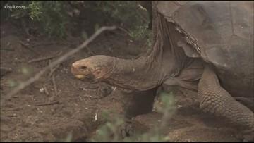 San Diego 'Casanova' tortoise saves his species by fathering 1,000 tortoises