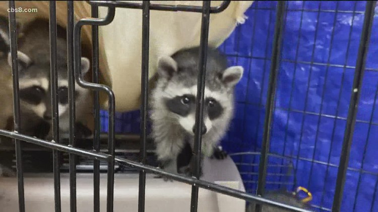 Baby raccoons rescued by Project Wildlife
