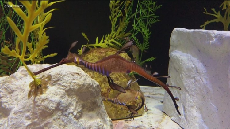 Baby sea dragons hatch at Birch Aquarium