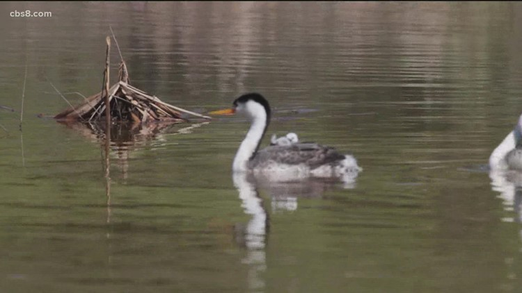 Grebes are nesting again at Lake Hodges