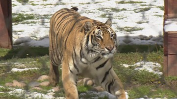 Animals at Lions, Tigers, and Bears get a snowy surprise