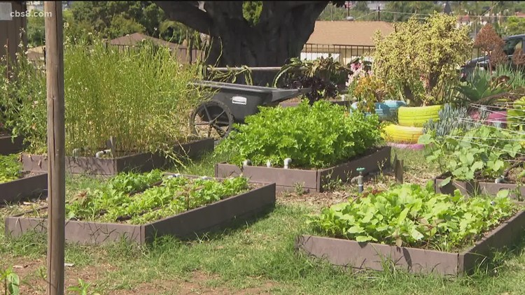 National City garden increases its produce for needy families in pandemic