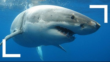 Man pleads guilty to catching, killing Great White off Oceanside Pier