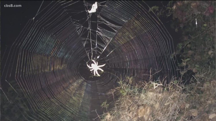 Orb weaver season in San Diego means 'crazy spider dance' time