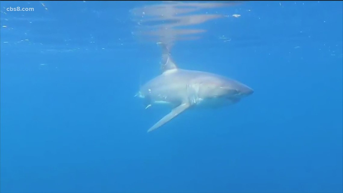 Why are sharks staying around the California coast longer?