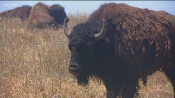 50 years ago the San Diego Zoo gifted just over a dozen North American Bison to Camp Pendleton where 90 of them now roam