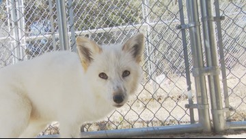 Rare foxes part of new conservation center in Santa Ysabel