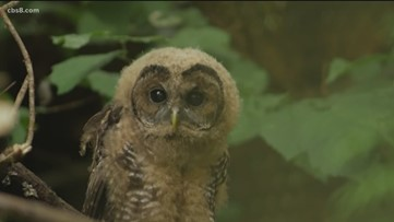 Earth 8: Northern Spotted Owl threatened by Eastern Barred Owl