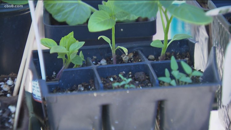 Home gardens sprouting in San Diego County