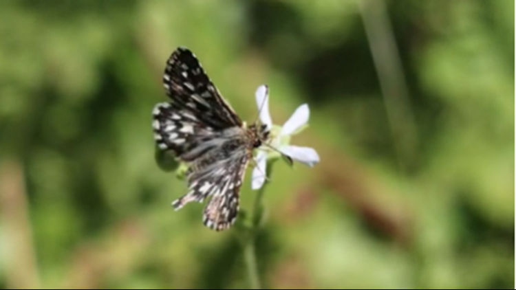 After 22 years, Laguna Mountains Skipper Butterfly to be reintroduced to native habitat